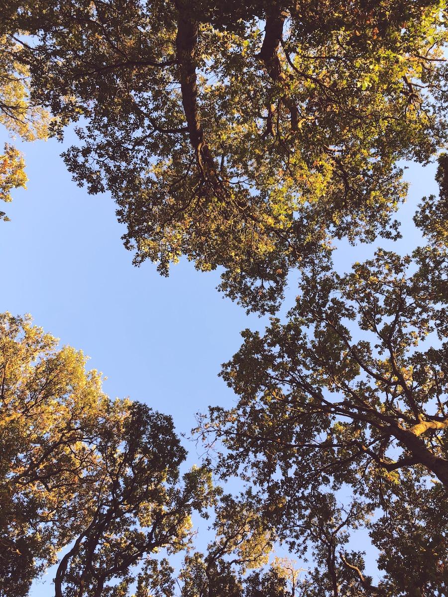 old oak trees knepp wildland