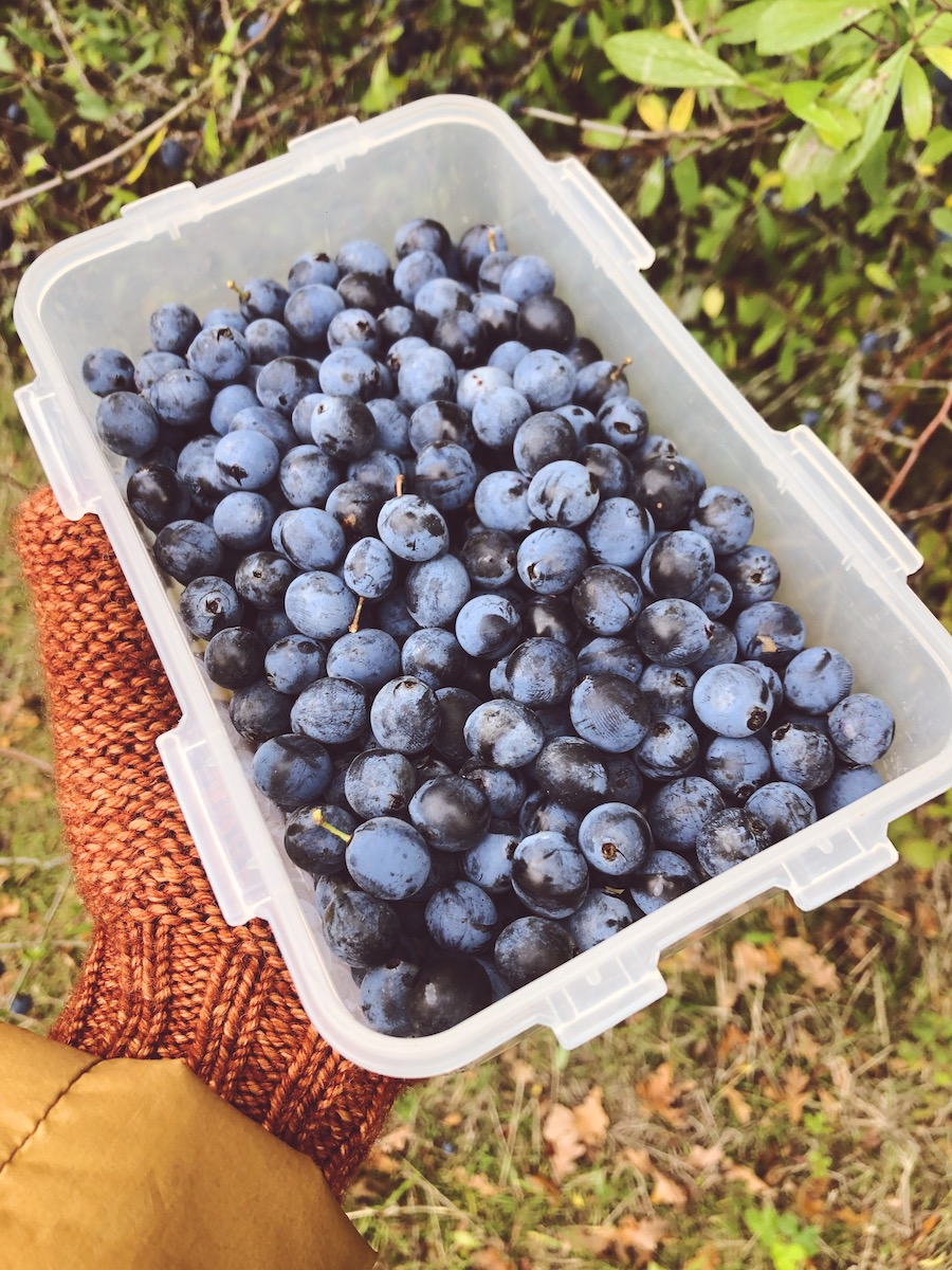 sloe berries knepp wildland sussex